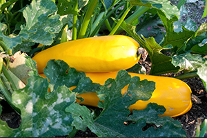 Tender Vegetables with No frost Tolerance